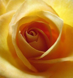 glowing gold rose photo by Robyn Beattie